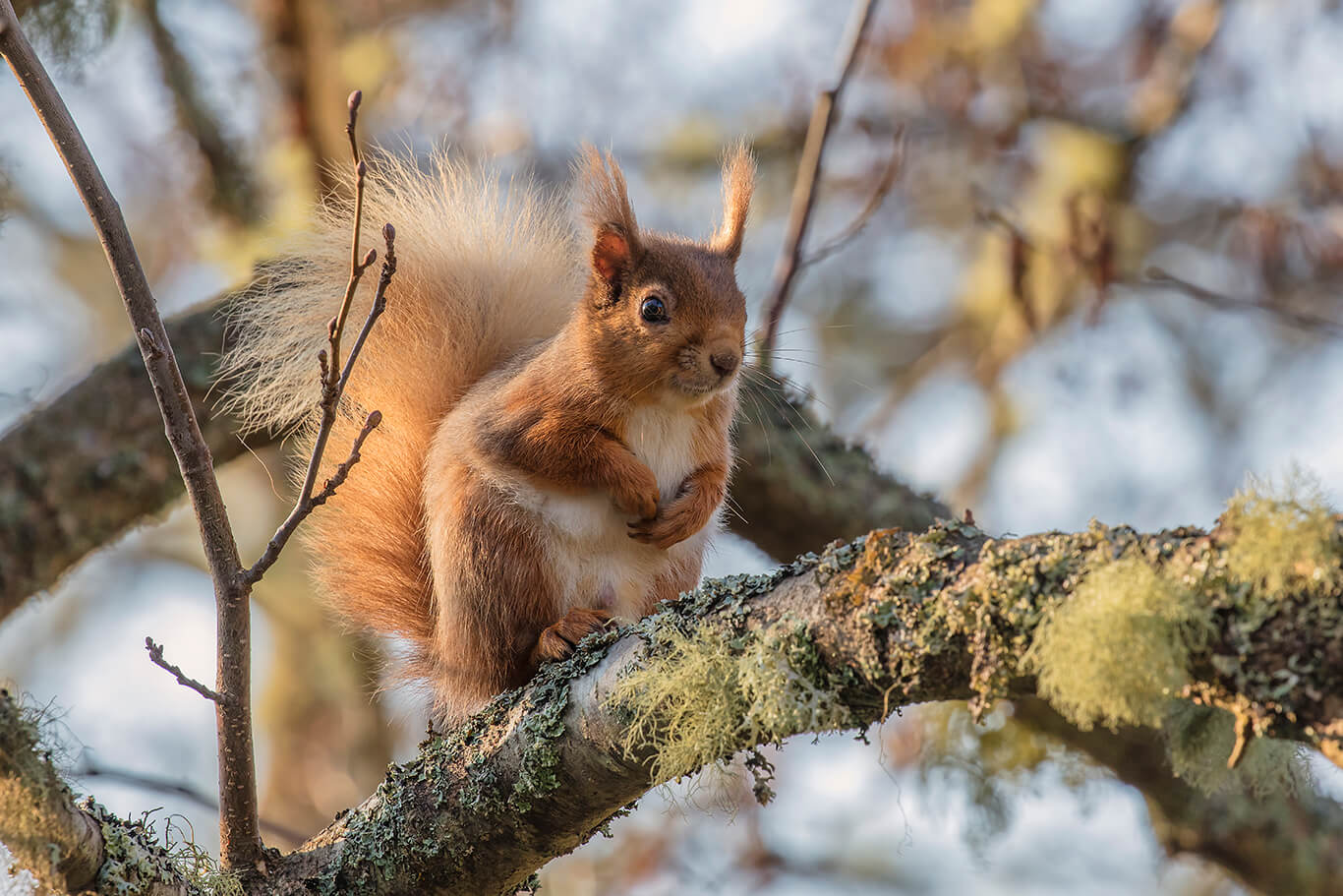 Red Squirrel At The Cross Kingussie